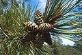 Pinus ponderosa scopulorum cones.jpg