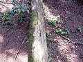 Pipsissewa (Chimaphila umbellata) - Flickr - brewbooks.jpg