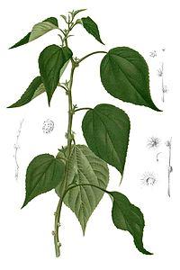 Pipturus arborescens Blanco2.371-cropped