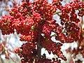 Pistacia palaestina blossom1.JPG