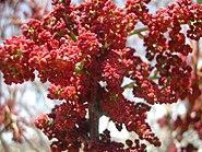 Pistacia palaestina blossom1