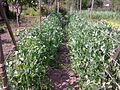 Pisum sativum - 1003.jpg