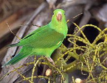 Plain Parakeet (Brotogeris tirica)4.jpg