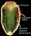 Plakobranchus ocellatus 4.png