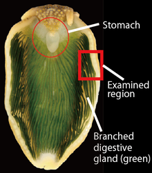 Hepatopancreas wikipedia dorsal view of an anesthetized individual of plakobranchus ocellatus with spread parapodia stomach and branched parapodial digestive glands are visible ccuart Images