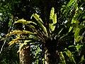 Plant Fern Bird Nest Asplenium P1120347 03.jpg