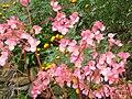 Plantas con flores rosadas.JPG