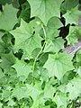 Plante grimpante inconnue à fleur jaune a.jpg