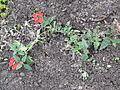 Plants - summer 2008 Poland 05.JPG