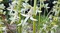 Platanthera bifolia05.jpg