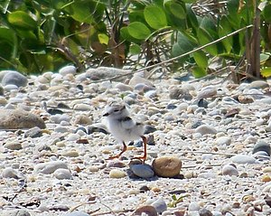 Piping plover - Piping plover chick at two days.