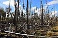 Podmáčené lesy u Russfinu - panoramio.jpg