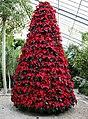 Poinsettia - Flickr - Southernpixel - Alby Headrick.jpg