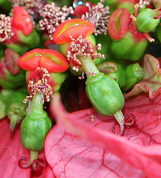 Euphorbia - Detail of poinsettia flowers and immature fruits