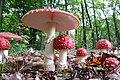 Poissoness or tres venenosas Amanita Muscaria (Fly Agaric mushroom, Syn. Fly amanita, D= Fliegenpilz, F= Amanite tue-mouches, NL= Vliegenzwam) in all development stadia, Autumn at Schaarsbergen Arnhem. - panoramio.jpg