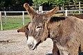 Poitou Donkey 2866.jpg