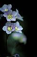 Polemonium vanbruntiae FWS-2.jpg