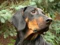 PolishScenthound-BRANKA-Herbu Weszynos wl.E.Ziolek.JPG