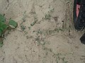 Polygonum oxyspermum subsp. raii plant (08).jpg