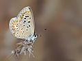 Polyommatus icarus - Common blue.jpg