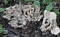 Polyporus umbellatus 66485178.jpg