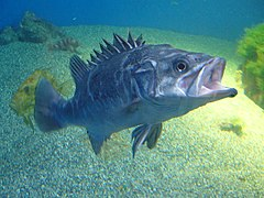 Polyprion americanus.002 - Aquarium Finisterrae.jpg