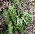 Polystichum aculeatum Asplenium scolopendrium 251202.jpg