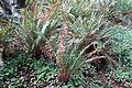 Polystichum munitum - Regional Parks Botanic Garden, Berkeley, CA - DSC04431.JPG