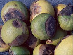 Pomelo fruit rot caused by Geotrichum candidum.jpg