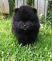 Pomeranain 12 weeks puppy. Color black.JPG