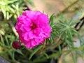 Portulaca flowers 01.jpg