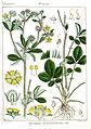 Potentilla leschenaultiana Rungiah.jpg