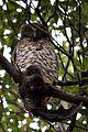 Powerful Owl Cammeray.jpg