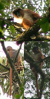 Preusss red colobus Species of Old World monkey