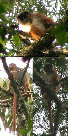 Preuss's red colobus.jpg
