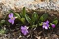 Primula angustifolia - Flickr - aspidoscelis (3).jpg