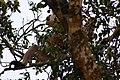Proboscis Monkey (Nasalis larvatus) (7113323017).jpg