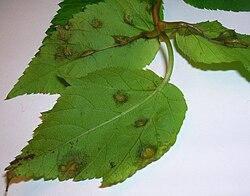 Protomyces macrosporus on Aegopodium podagraria lower surface.JPG