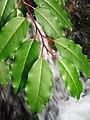 Prunus lusitanica. Lloral (fueyes).jpg
