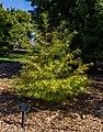 Pseudolarix amabilis, Timaru Botanic Garden, New Zealand.jpg
