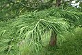 Pseudolarix amabilis kz04.jpg