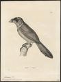 Psilopogon pyrolophus - 1700-1880 - Print - Iconographia Zoologica - Special Collections University of Amsterdam - UBA01 IZ18800093.tif