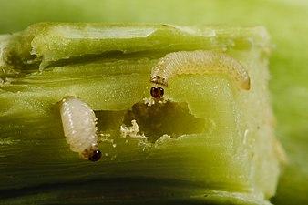 Psylliodes chrysocephala larva (31943790945).jpg