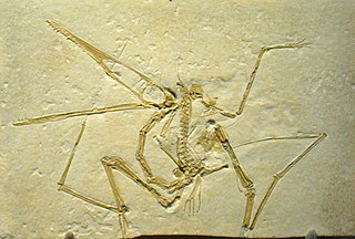 Pterodactyloidea a suborder of pterosaurs (fossil)