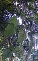 Pterospermum acerifolium kz1.JPG