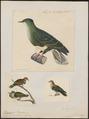 Ptilinopus superbus - 1700-1880 - Print - Iconographia Zoologica - Special Collections University of Amsterdam - UBA01 IZ15600079.tif