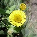 Pulicaria dysenterica (Common Fleabane), Sampford Courtenay, South Devon, England.jpg