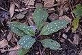 Pulmonaria Little Star in Jardin botanique de la Charme.jpg