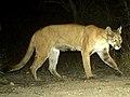 Puma concolor camera trap Arizona 1 (cropped).jpg