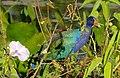 Purple Gallinule (Porphyrio martinicus) - Flickr - berniedup.jpg